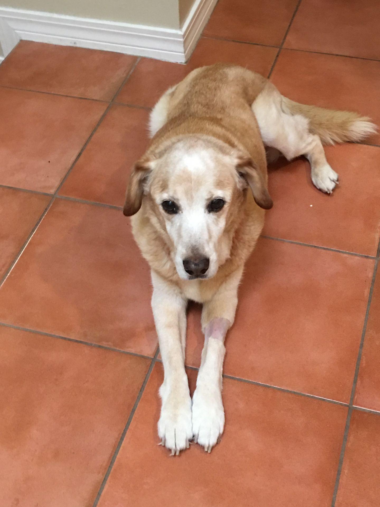 Adopt Gramps On Labrador Retriever Rescue Labrador Retriever Retriever Dog