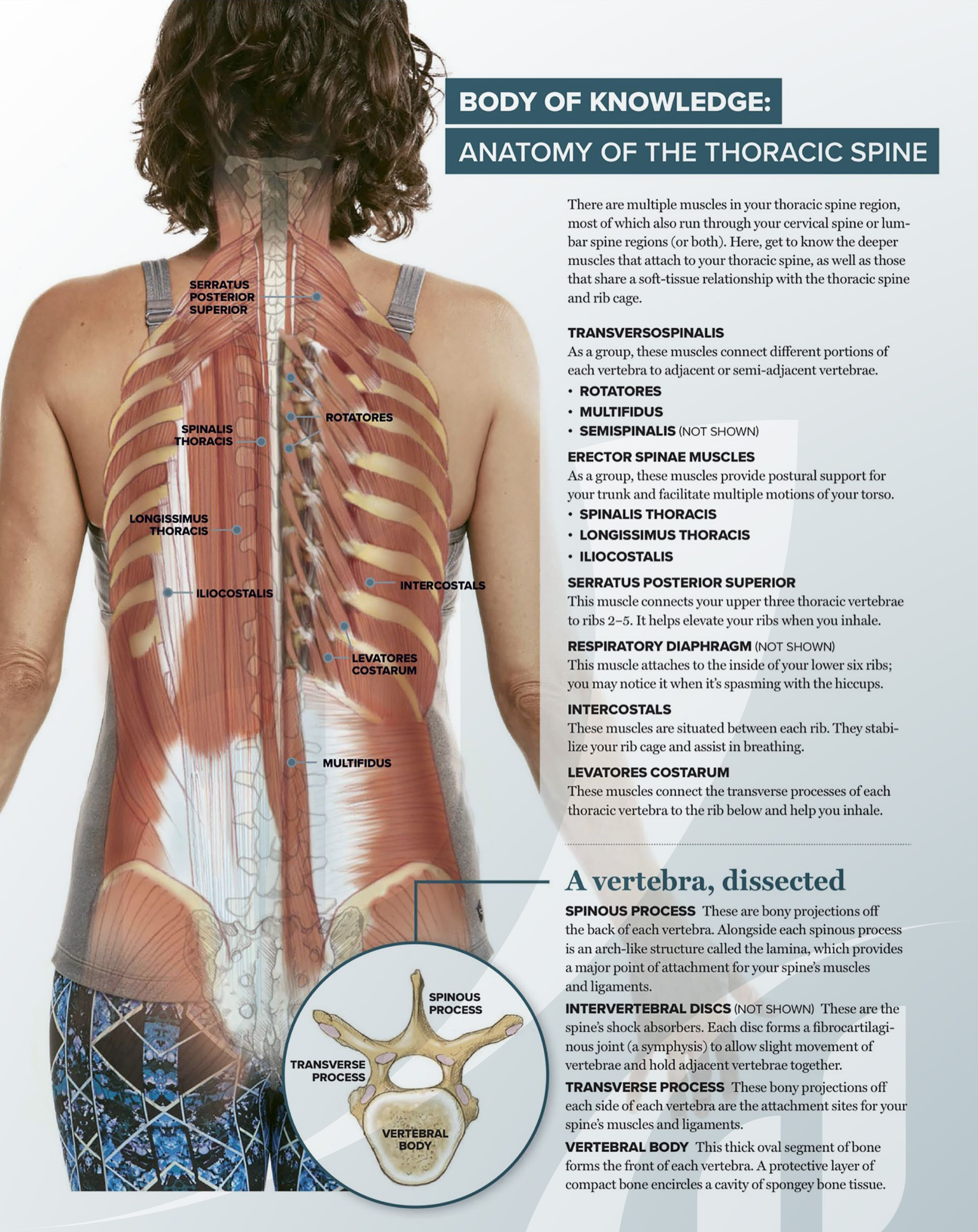 Body of Knowledge: #Anatomy of the Thoracic #Spine. There are ...