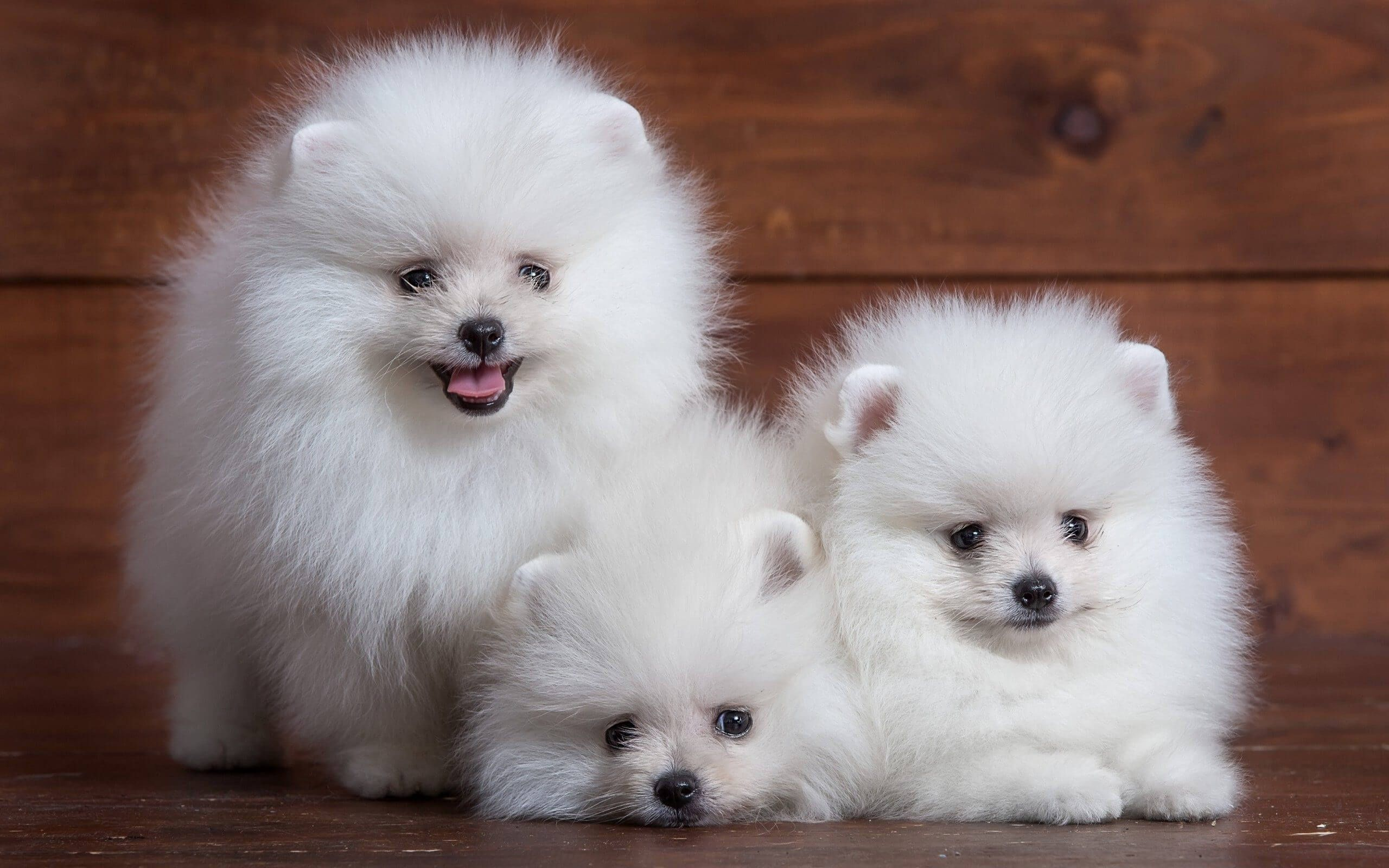 Small Dogs Are Extremely Popular For Many Reasons Small Dogs