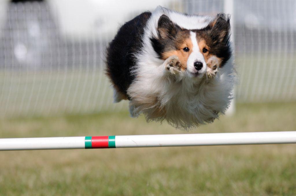 https://flic.kr/p/8CoULU | Dog Show, Agility