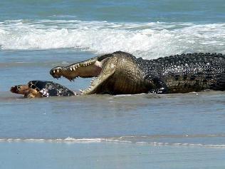crocodiles in australia   Wild crocodile launches attack on turtle ...