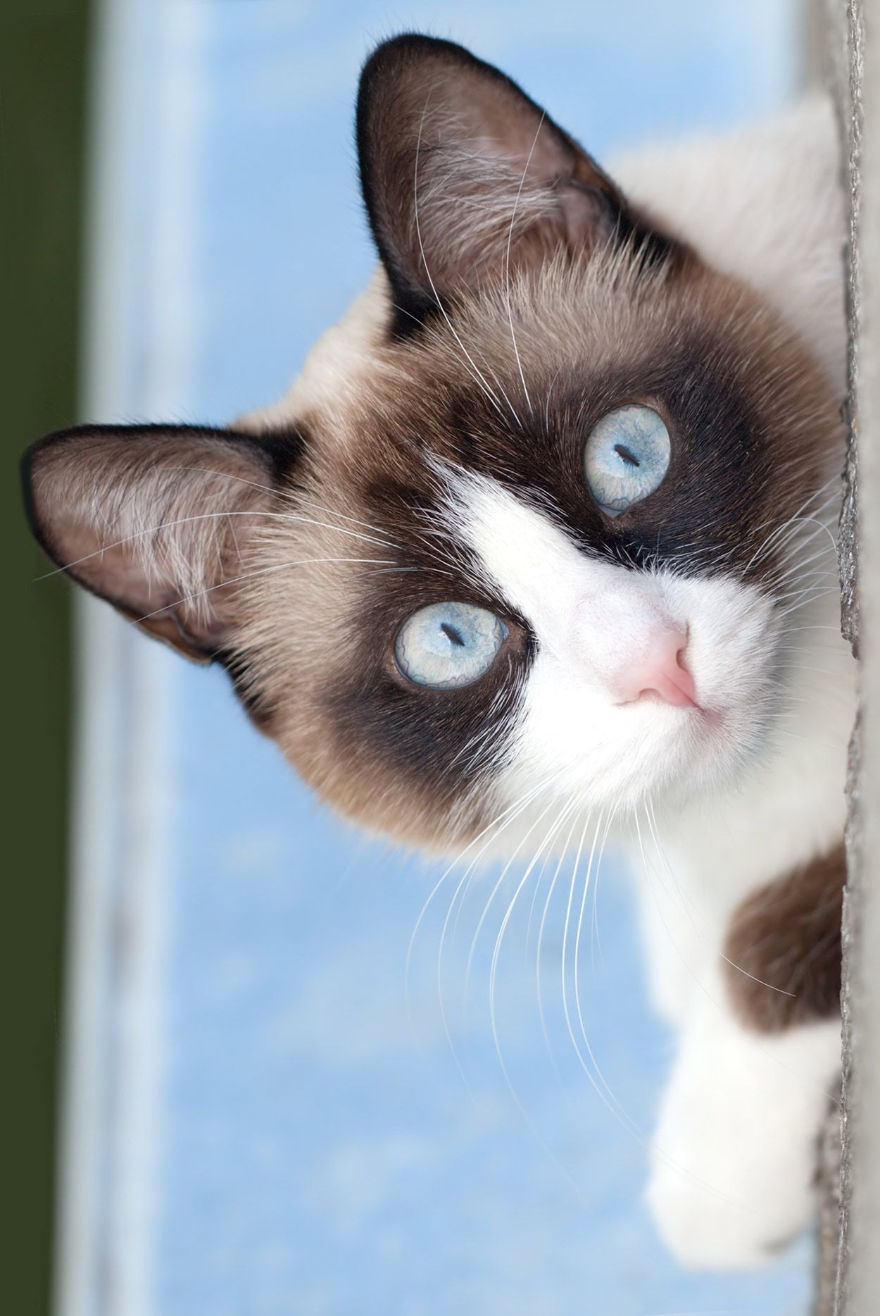 Snowshoe Carattere Aspetto Salute Prezzo кошки кошки котята
