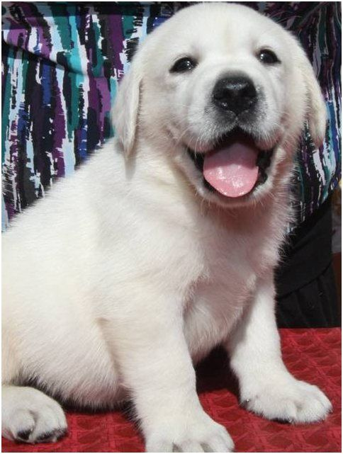 White English Labradors Breeder California Yellow Labs Black Labrador Puppies For Sale English Labrador Breed Lab Puppies Cat Quotes Labrador Puppies For Sale