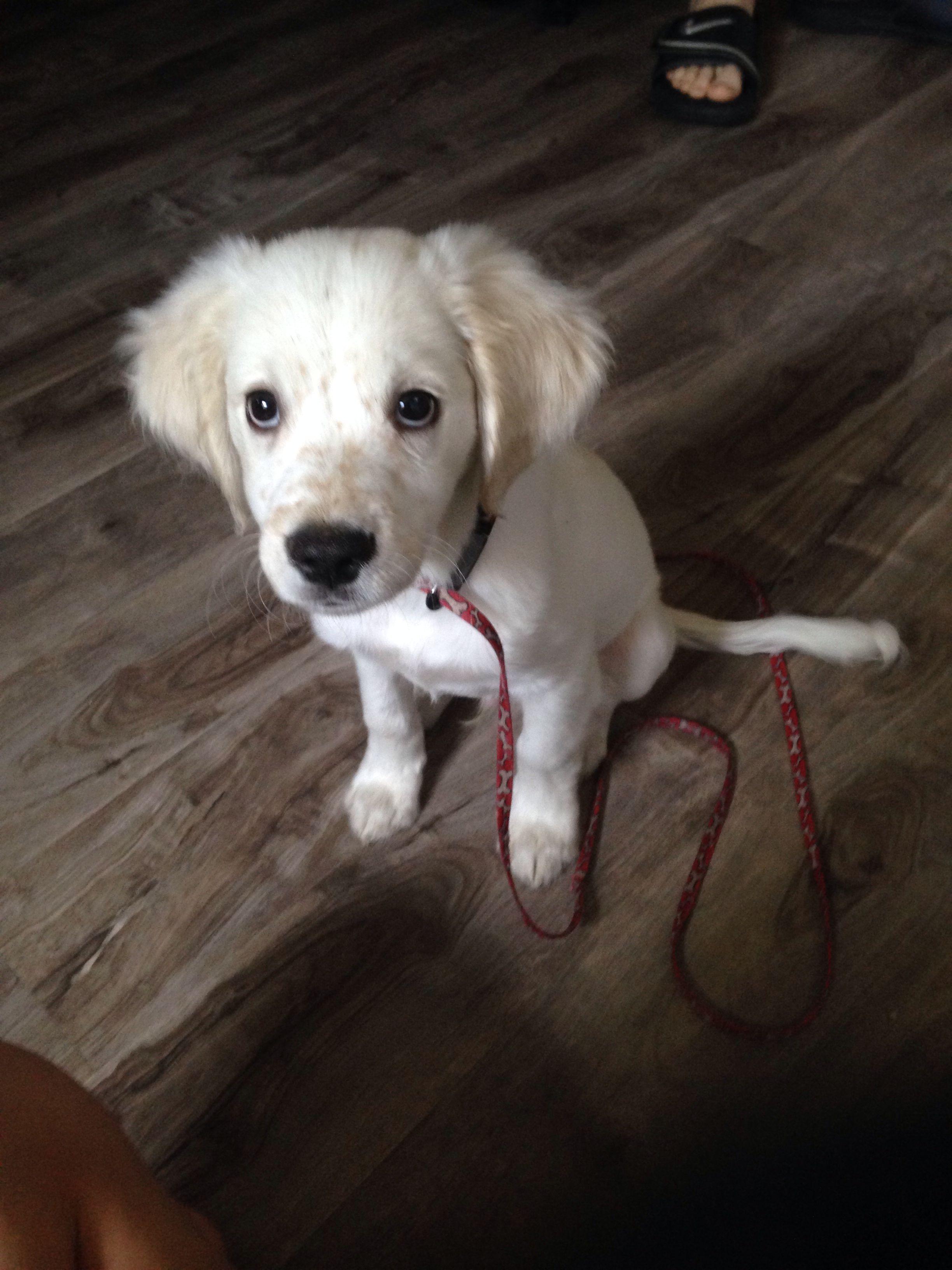 2 Month Old Cocker Spaniel Lab Mix Cutest Puppy Ever