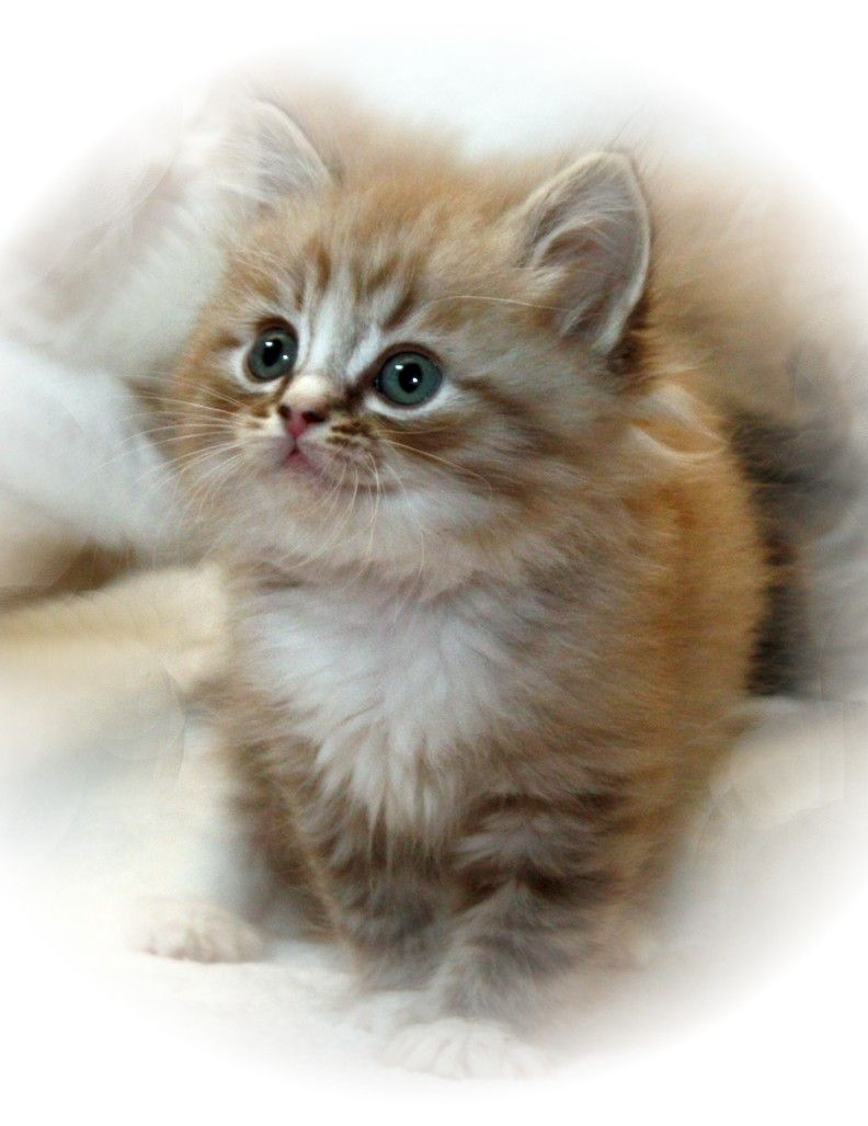Kittens Open Their Eyes About Seven To Ten Days After Birth At First The Retina Is Poorly Developed And Vis Cute Cats And Dogs Ragamuffin Kittens Pretty Cats