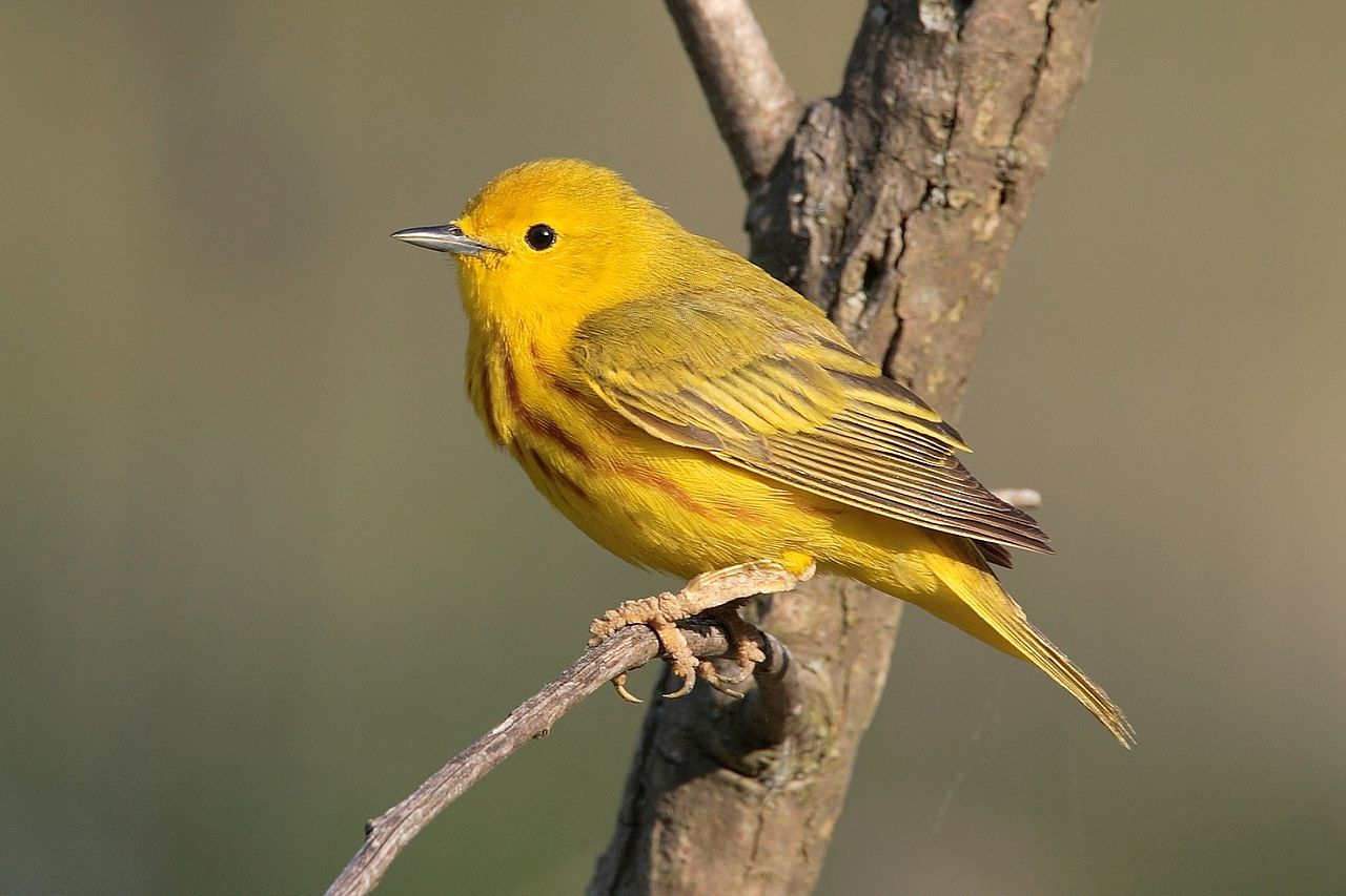 American Yellow Warbler (male in breeding plumage