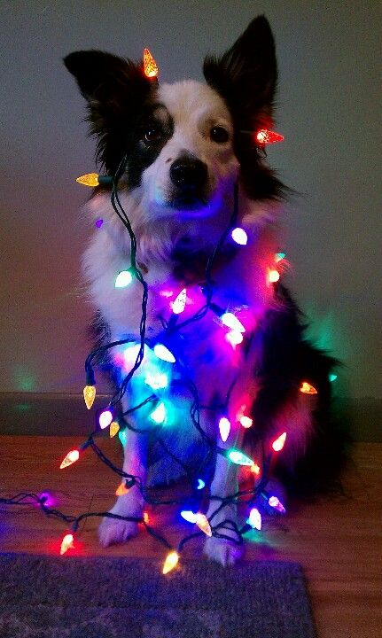 Dog Wrapped in Christmas Lights - Multi colored. - Dog Wrapped In Christmas Lights - Multi Colored. Holiday Pets