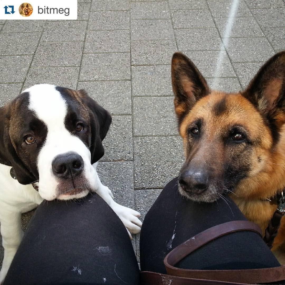 @bitmeg #saintbernard #stbernard #germanshepherd #gsd #shepherd #pet #dog #animal
