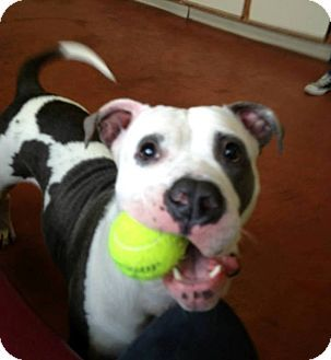 New York Ny American Bulldog Mix Meet Venus A Dog For Adoption American Bulldog American Bulldog Mix Bulldog