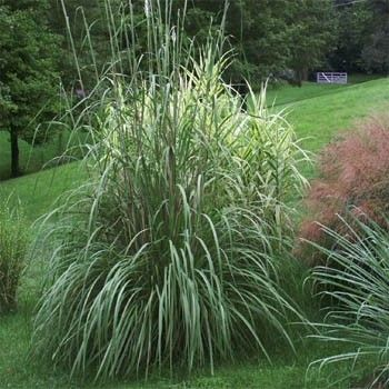 Plume grass seed ravenna ornamental grass seeds uda for Tall purple ornamental grass