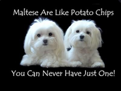 So What Is Your Dog S Purpose Maltese Dogs Forum Spoiled