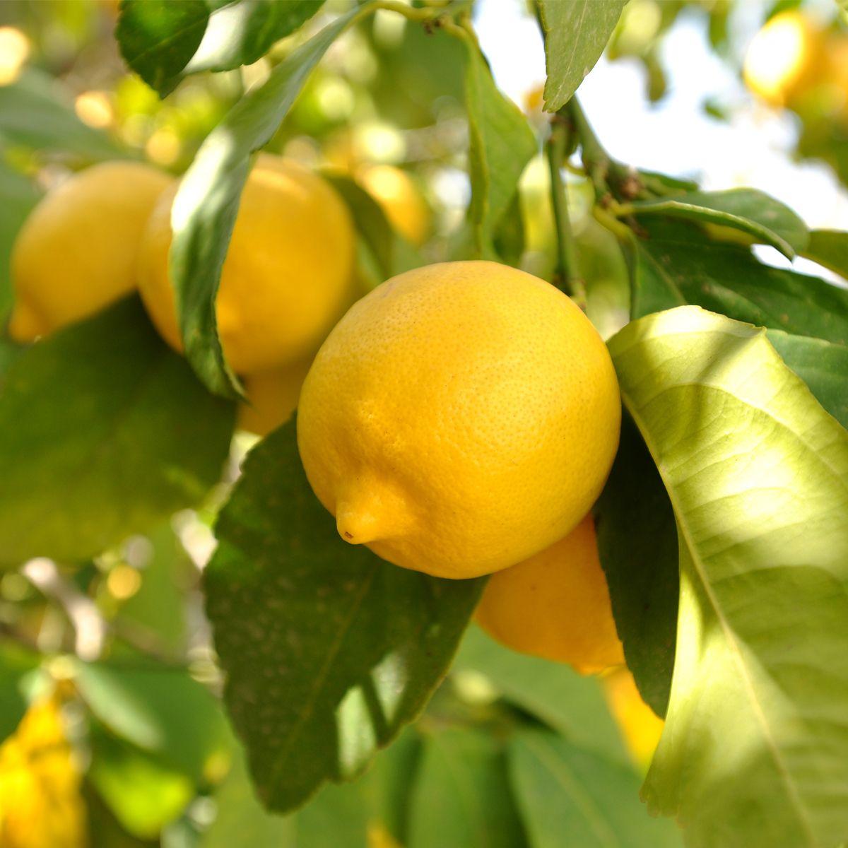 Eureka Lemon Tree For Sale Online Citrus Com Eureka Lemon Tree Meyer Lemon Tree Eureka Lemon
