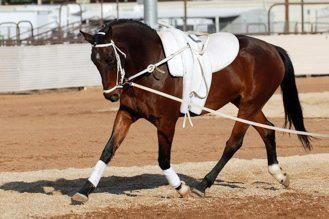 Vaulting Horse With Surcingle Bridle Lunge Line And