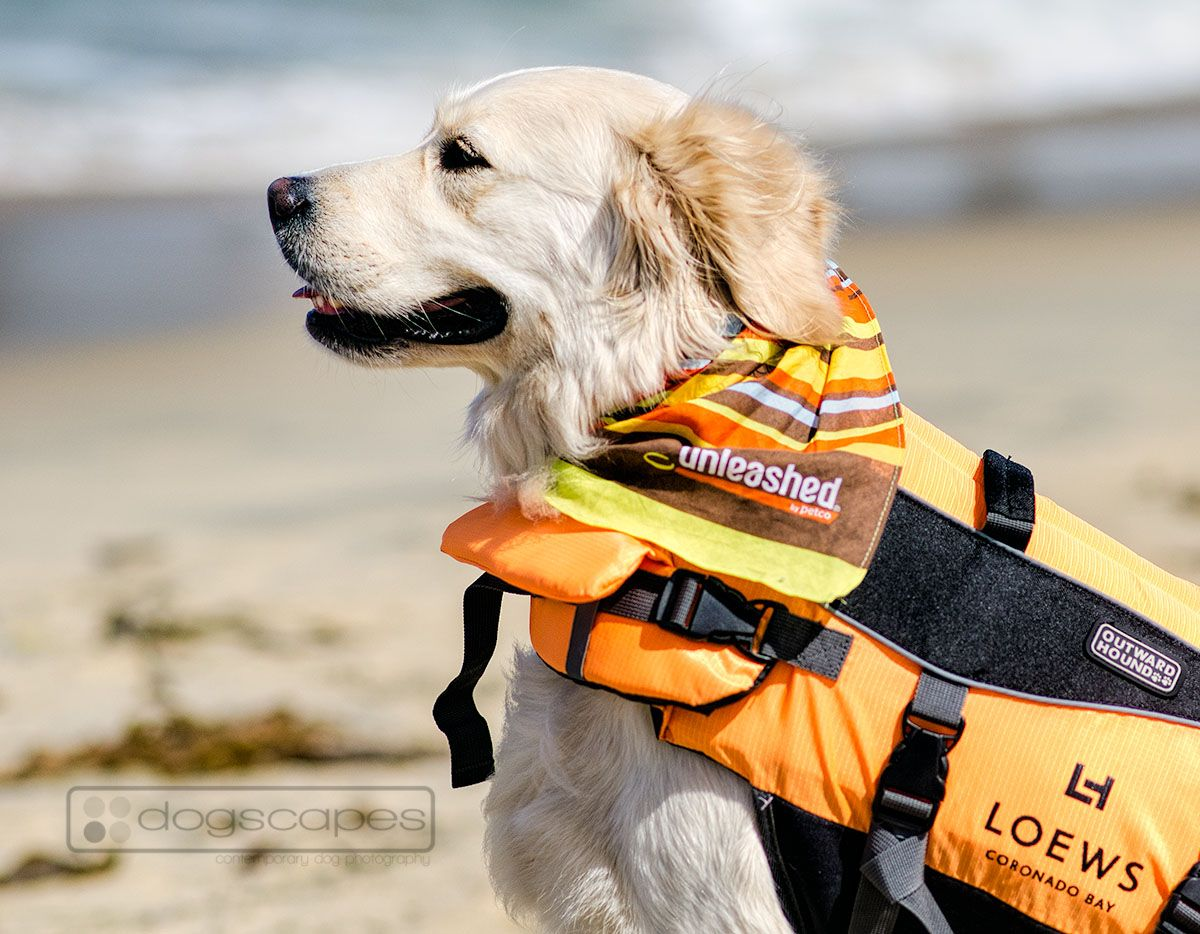 Snickers the golden retriever checks out the waves at the