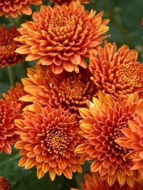 Mum Coppersmith Bluestone Perennials Mums Flowers Flowers Perennials Chrysanthemum Flower