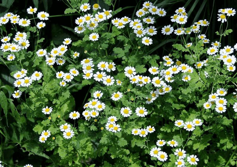 Chrysanthemum Paludosum White Chrysanthemum Flower Chrysanthemum Flower Essences