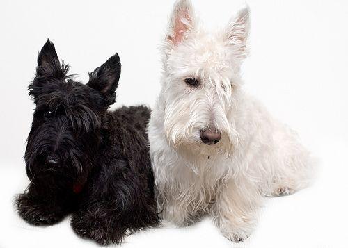 Scottish Terrier Dog Breed Scottish Terrier Scottie Dog Terrier