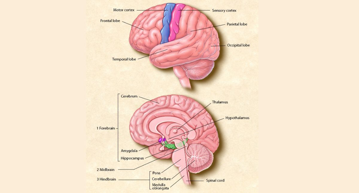 The top image shows the four main sections of the cerebral cortex ...