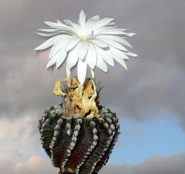 Самые уникальные в мире кактусы (фото и названия) | Kaktüs