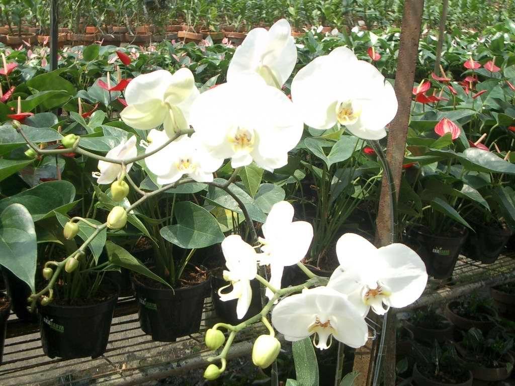 Anggrek Cantik Matematikacerdas Wordpress Com Cantiknya Bunga Anggrek Orchid Flower Orchids Amazing Flowers