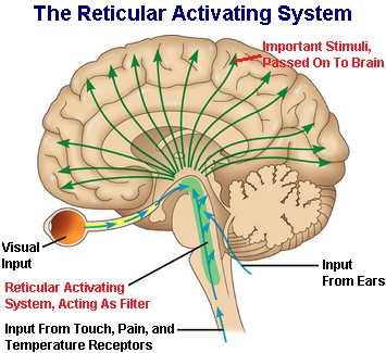 ascending reticular activating system pdf