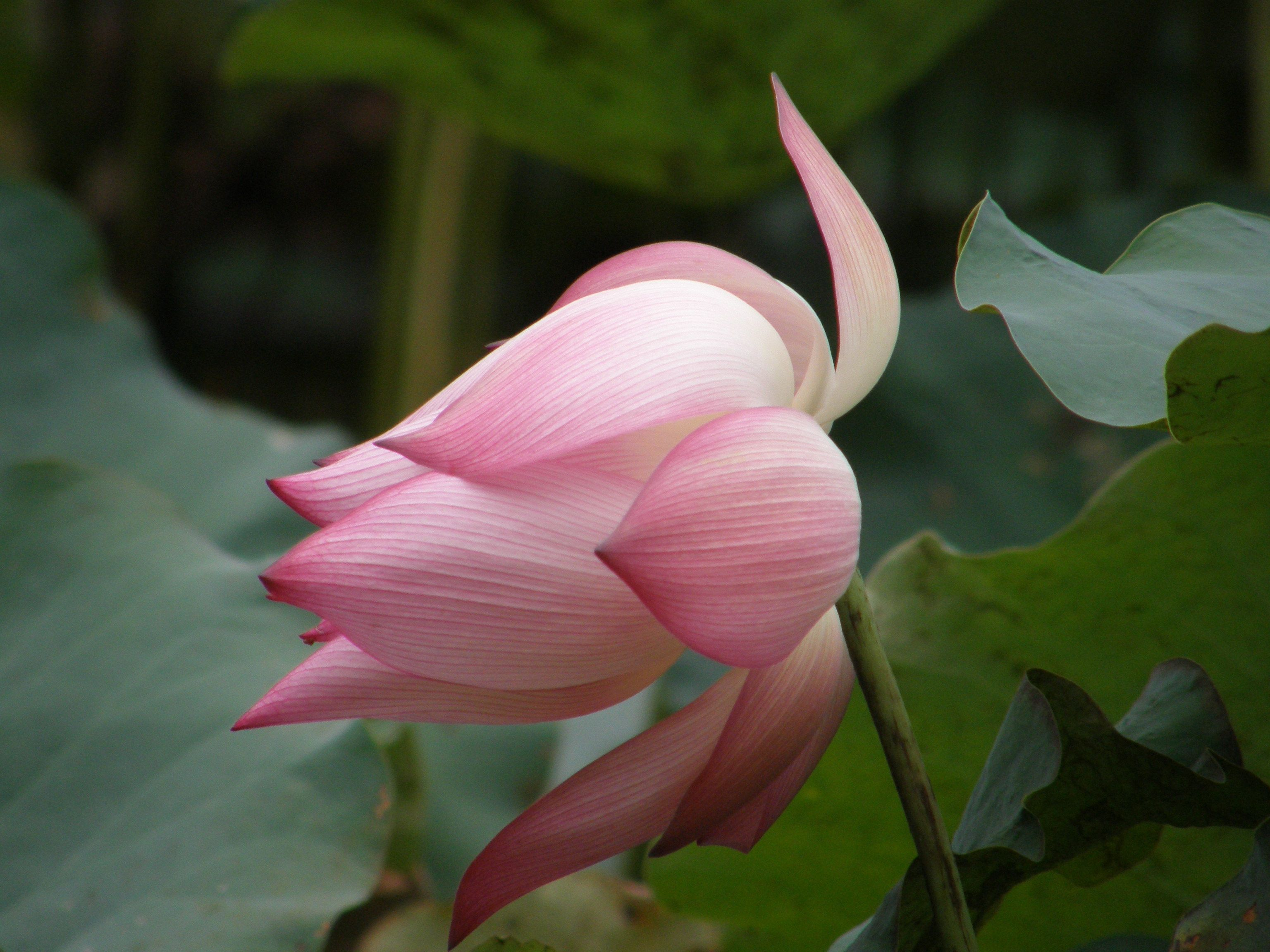 Lotus Vietnams National Flower Vietnam Pinterest Lotus And