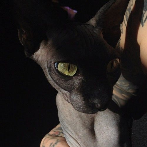 Sphynx Cat Sphynx Cat Sphynx Cat Black Sphynx