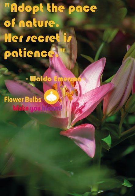 **QUOTE**    #instaflowers #bloembollen #flowerbulbs #flowerstagram #flowerphotography #flowersofinstagram #flowerslovers #lilium #pinkflowers #summergarden #summerbulbs