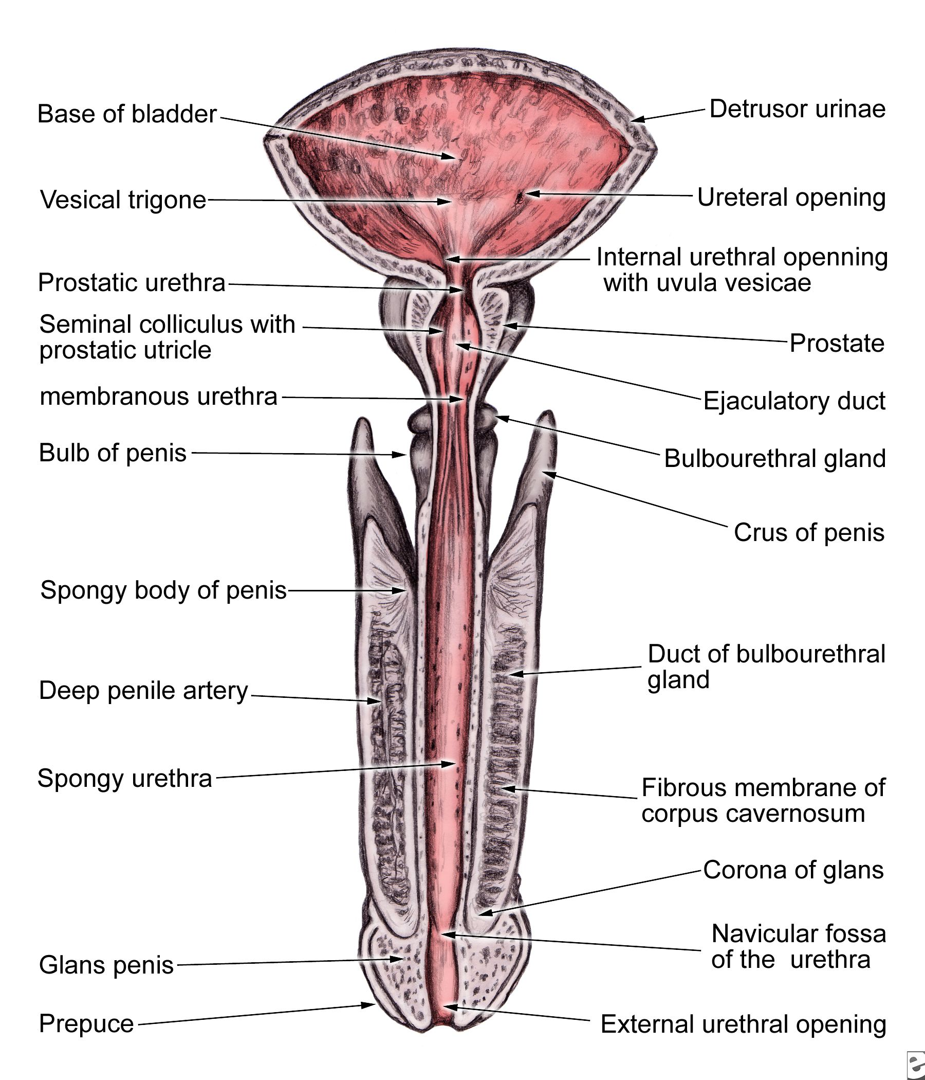 male urethral anatomy google search urinary system. Black Bedroom Furniture Sets. Home Design Ideas