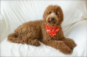 Ohio Family Raised Golden Retriever Poodle Puppy Breeder