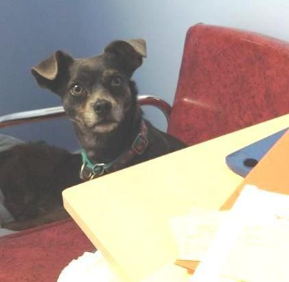 Adopt Hillary Shy Girl Loves Dogs On With Images Chihuahua Mix American Animals Pet Adoption