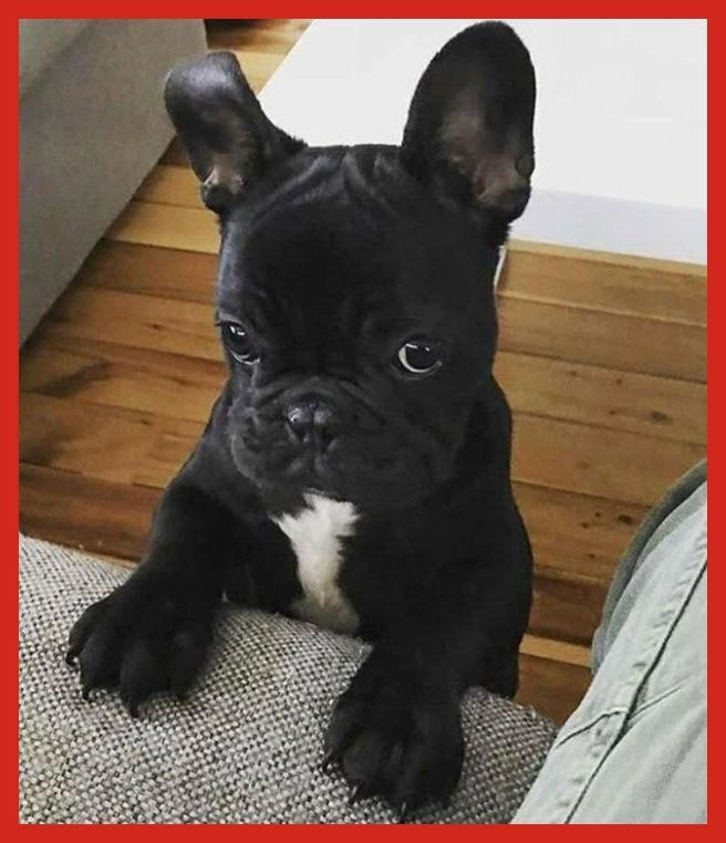 French Bulldog Cost The Hidden Cost Of Cuteness Blue French Bulldog Puppy Blue French B Bulldog Puppies French Bulldog Puppies Dog Training