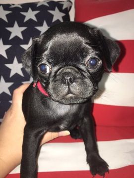Litter Of 8 Pug Puppies For Sale In Lexington Park Md Adn 44999