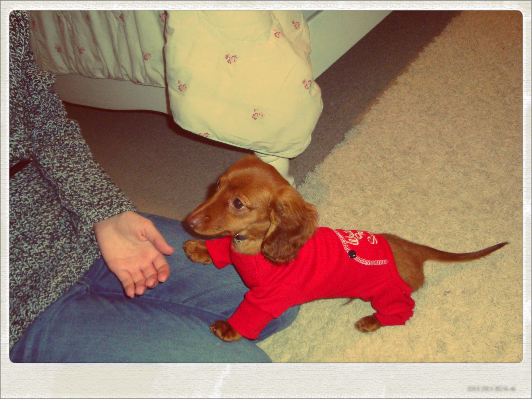 Doxie Baby In His Long John Pajamas Waiting For Santa