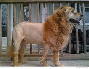 Shaved golden retriever