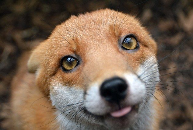 Prima-foxy: Pudding the fox knows how to pose for a photograph