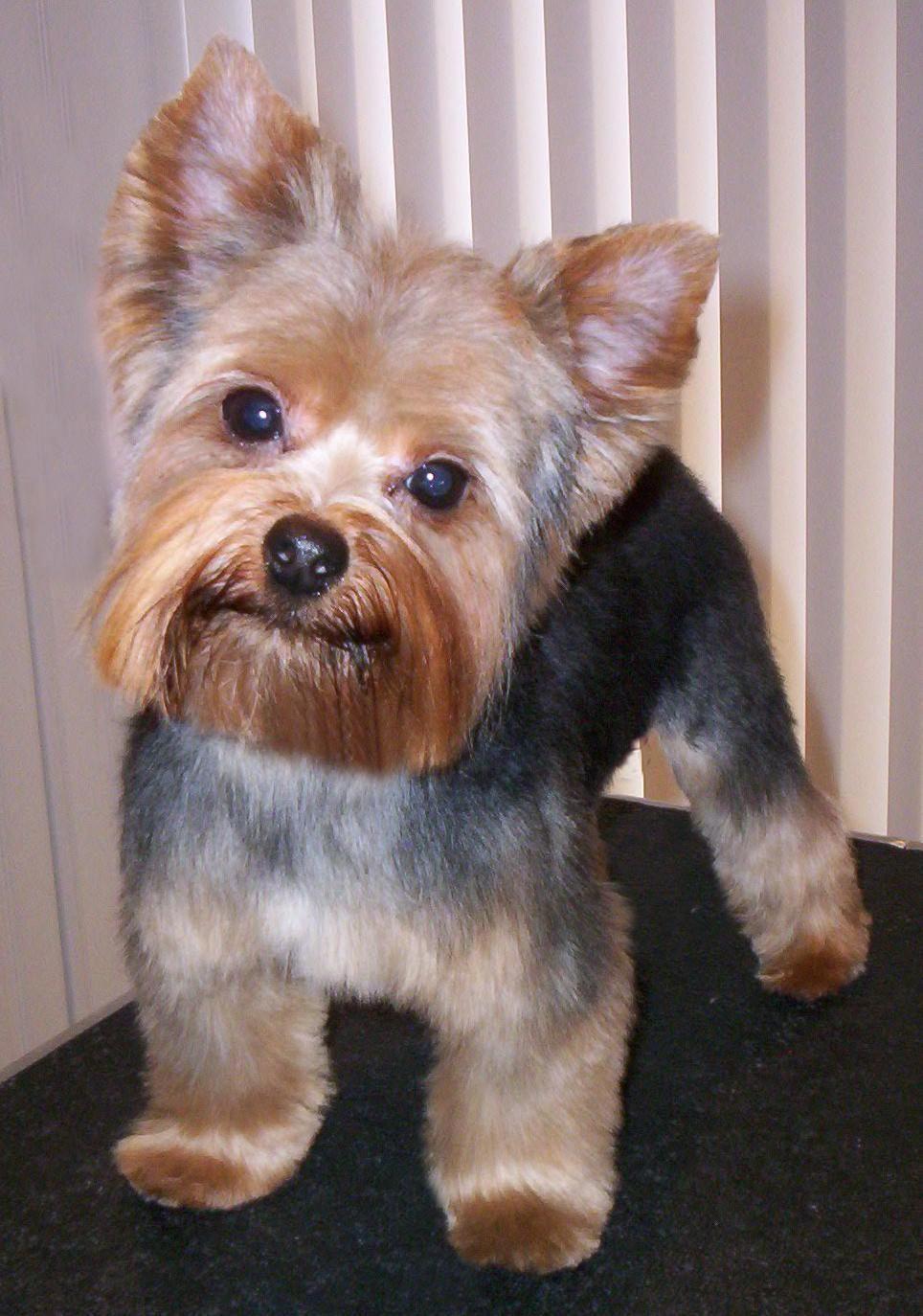 Image Result For Yorkie Teddy Bear Cut Yorkshireterrierhaircut