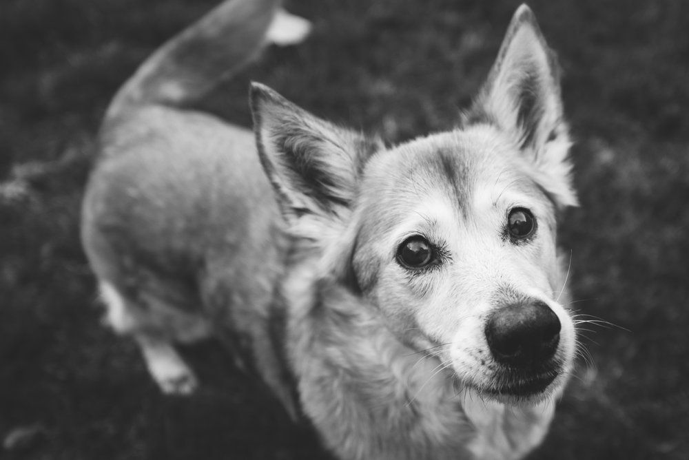 Jillian The Corgi Shiba Inu Bowling Green Ohio Pet Photography Animal Photography Pet Photographer Dog Portraits