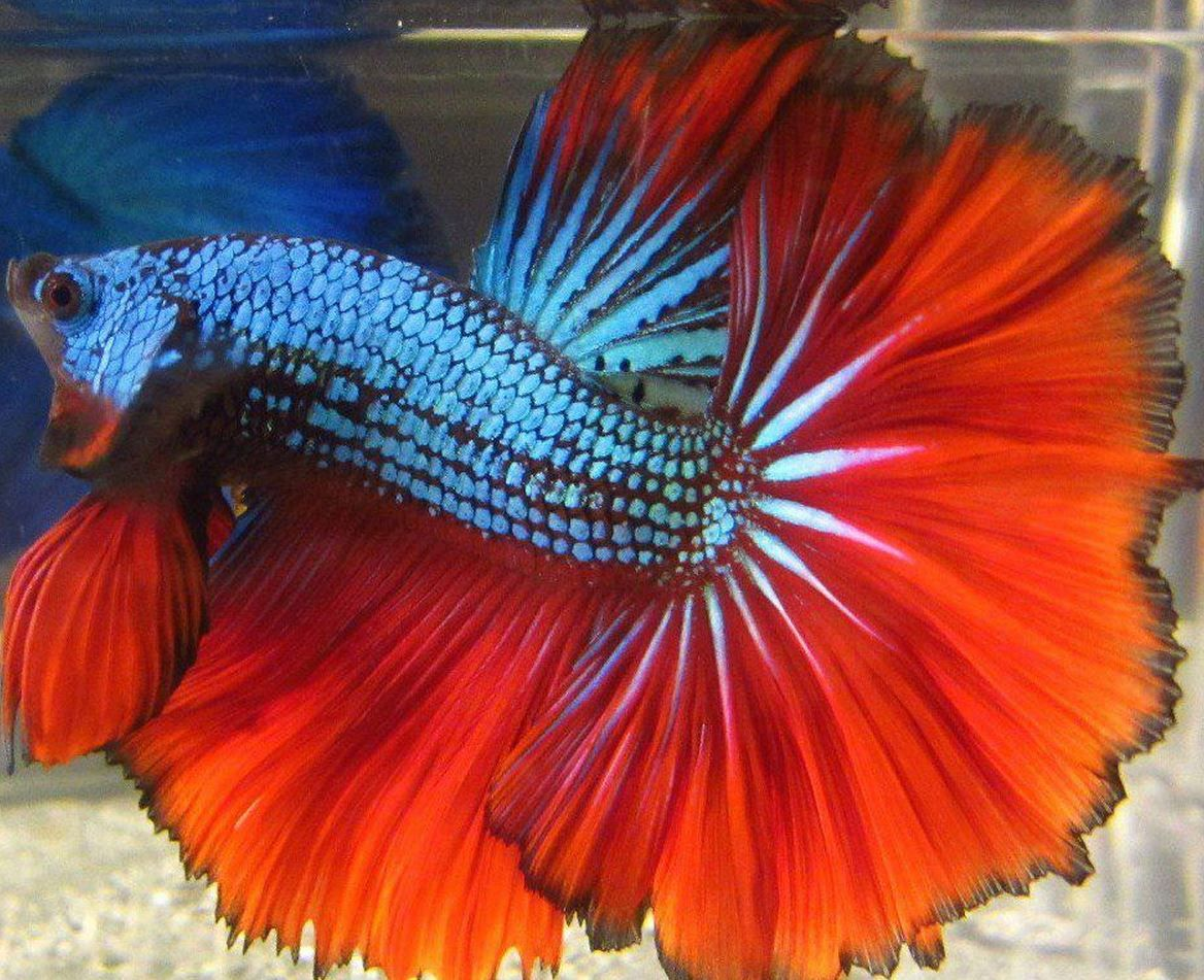 Betta Fish Colors Images >> All About Bettas Fish The Amazing Betta ...