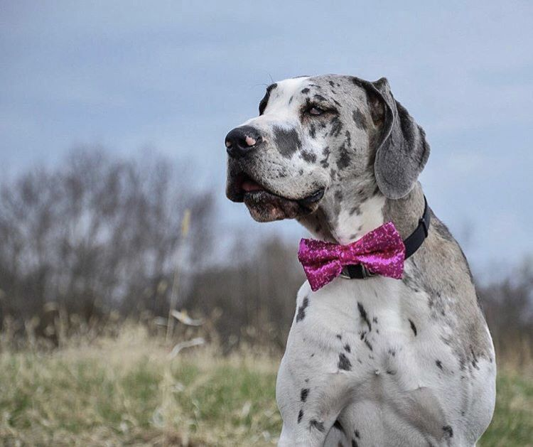 Bow Ties For Dachshunds And Great Danes Can Be Purchased From Our