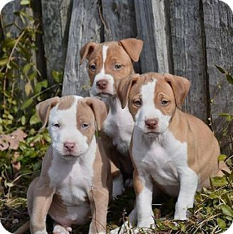Harriman, TN - American Pit Bull Terrier/American Staffordshire Terrier Mix. Meet Babies!!! a Puppy for Adoption.