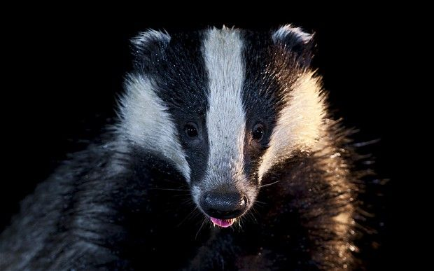 Eat Badgers Says Clarissa Dickson Wright Badger Meaning Power Animal Badger