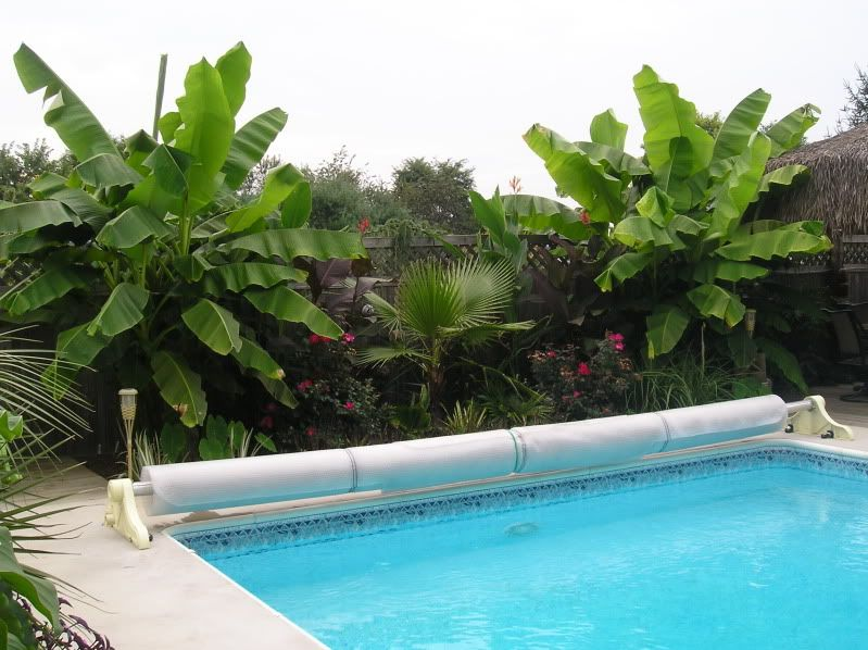 Banana Trees We Had These At Our House In Sunburst Farms When I Was Little I Want Some Out By