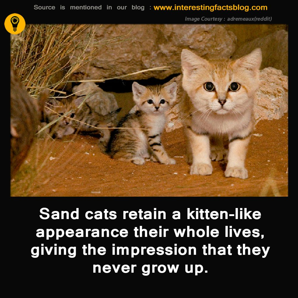 Sand Cats Interesting Facts Wild cat species, Wild cats