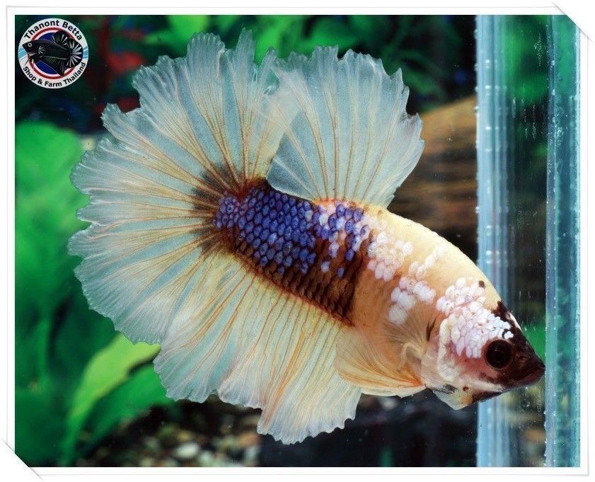 Topaz Galaxy Halfmoon Betta Betta Betta Fish