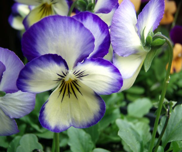 Sunday Slide Show Pansies Violas And A Violet Or Two In 2020 Pansies Pansy Garden Beautiful Flowers