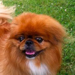 Adopt Pepper On Pekingese Pekingese Dogs Pekingese Puppies