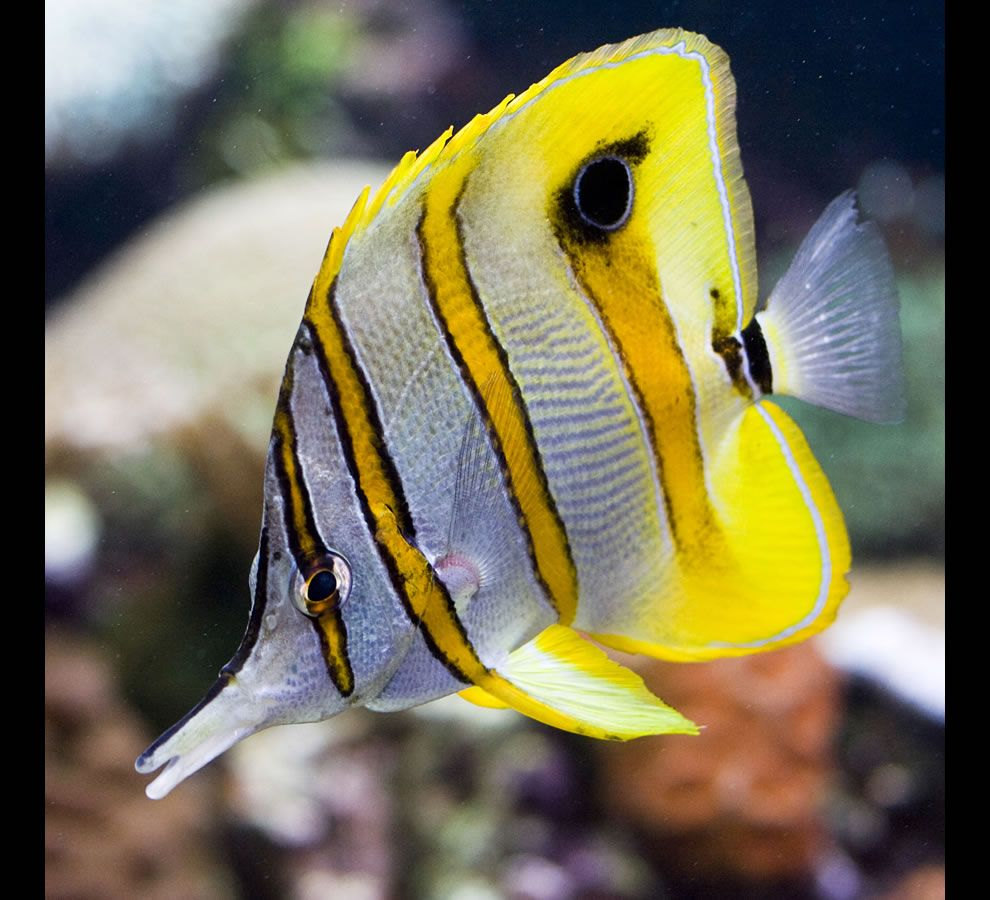 yellow butterfly fish Great Barrier Reef
