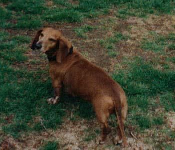 Our Very First Dachshund Auggie He Was About 9 5 Years Of Age