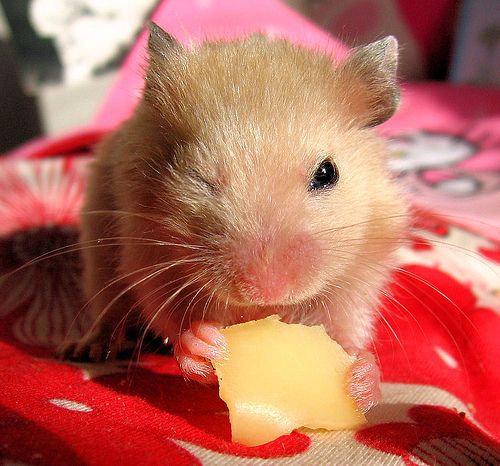 All About Syrian Teddy Bear Hamster Hamsters As Pets Hamster